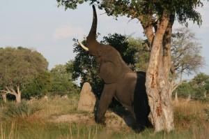 Olifant, Okavango Delta, Botswana